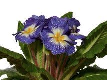 Blauwe Primula Stock Foto's