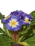 Blauwe Primula Stock Foto