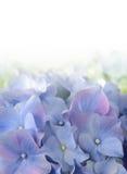 Blauwe Purpere Hydrangea hortensiabloem Stock Foto