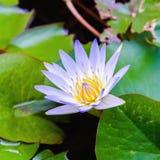 Blauwe purpere lotusbloem Royalty-vrije Stock Afbeelding