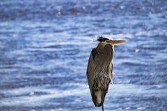 Blauwe Reiger door de Oceaan Royalty-vrije Stock Fotografie