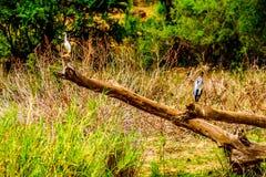 Blauwe Reiger en Witte Aigrettezitting op een oude Boomtak langs de Olifants-Rivier in Kruger-Park stock foto's