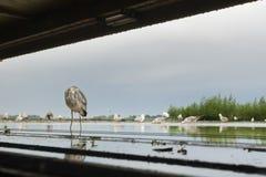 Blauwe Reiger, Grey Heron, Ardea cinerea imagen de archivo