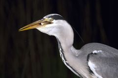 Blauwe Reiger, Grey Heron, Ardea cinerea fotos de archivo