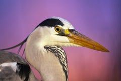 Blauwe Reiger, Grey Heron; Ardea cinerea stock image