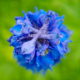 Blauwe ridderspoorbloem royalty-vrije stock foto