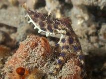 Blauwe ringsoctopus Royalty-vrije Stock Fotografie