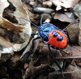 Blauwe rode kever Stock Foto