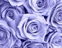 Blauwe rozen Stock Afbeeldingen