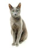 Blauwe Russische kat Stock Fotografie
