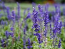 Blauwe salvia (Blauwe salie) bloem Stock Foto