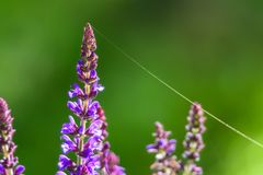 Blauwe Salvia-bloemen in zonlicht met spinneweb royalty-vrije stock foto's