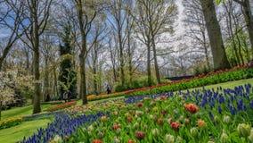 Blauwe Salvia Flowers Garden In Netherlands royalty-vrije stock foto's