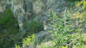 Blauwe Salvia (salviafarinacea) bloeit het bloeien op de rots, Wind in wind stock videobeelden