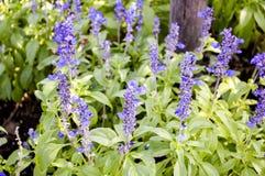 Blauwe salvia splendens bloem in aardtuin Royalty-vrije Stock Afbeeldingen