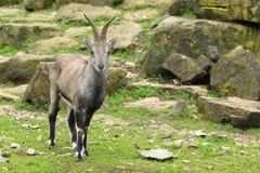 blauwe schapen Royalty-vrije Stock Foto's