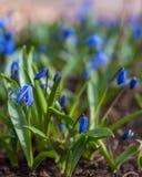 Blauwe Scilla-bloemen Royalty-vrije Stock Fotografie