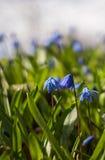 Blauwe Scilla-bloemen Royalty-vrije Stock Afbeeldingen