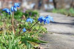 Blauwe scilla van de lentebloemen Stock Fotografie