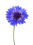 Blauwe segetum van korenbloemcyanus stock foto