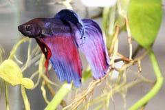 Blauwe siamese het vechten vissen stock fotografie