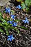 Blauwe sneeuwklokjes Royalty-vrije Stock Foto