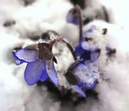 Blauwe sneeuwklokjes Royalty-vrije Stock Fotografie