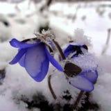 Blauwe sneeuwklokjes Royalty-vrije Stock Afbeeldingen