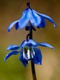 Blauwe sneeuwklokjes in de lente Stock Foto