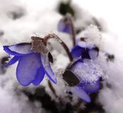 Blauwe sneeuwklokjes onder de sneeuw Royalty-vrije Stock Fotografie