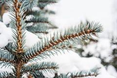 Blauwe sparappel en naalden onder de sneeuw Stock Foto