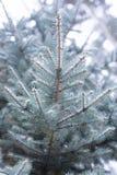 Blauwe sparren in de sneeuw in bos, de winter, Kerstmisachtergrond Stock Foto