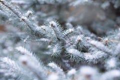 Blauwe sparren in de sneeuw in bos, de winter, Kerstmisachtergrond Royalty-vrije Stock Fotografie