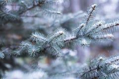 Blauwe sparren in de sneeuw in bos, de winter, Kerstmisachtergrond Stock Afbeelding