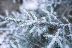 Blauwe sparren in de sneeuw in bos, de winter, Kerstmisachtergrond Royalty-vrije Stock Afbeeldingen