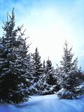 Blauwe sparren in de sneeuw royalty-vrije stock foto's