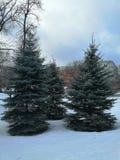 Blauwe sparren in het Park in de winter royalty-vrije stock afbeeldingen