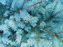 Blauwe sparren (Picea pungens) Royalty-vrije Stock Fotografie