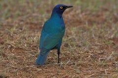 Blauwe Starling Stock Foto's