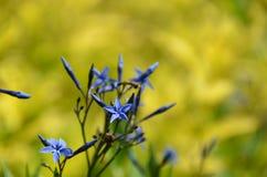 Blauwe sterbloem in Cornell University Botanical Gardens Stock Afbeelding