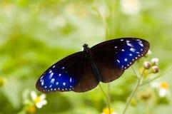 Blauwe sterren op de vleugels (vlinderreeks) Royalty-vrije Stock Foto