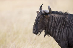 Blauwe stier het meest wildebeest met hoornenclose-up in zonneschijn het kijken Royalty-vrije Stock Foto's