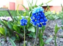 Blauwe straatbloem - Ð ¡ иР½ иР¹ уГ Ð¸Ñ ‡ Ð ½ Ñ ‹Ð ¹ Ñ † Ð ² Ð?Ñ 'Ð ¾ к Stock Foto