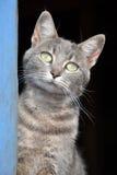 Blauwe tabby kat bij de deur Stock Afbeeldingen