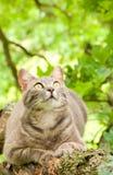 Blauwe tabby kat die vastbesloten prooi bekijkt Stock Foto's