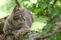 Blauwe tabby kat in een boom Royalty-vrije Stock Foto's