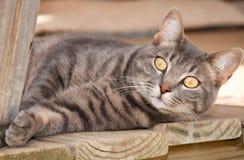 Blauwe tabby kat met het slaan van gele ogen Royalty-vrije Stock Foto