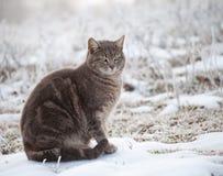 Blauwe tabby kat in sneeuw Royalty-vrije Stock Afbeeldingen