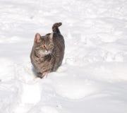 Blauwe tabby kat in sneeuw Stock Foto's