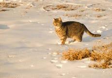 Blauwe tabby kat in sneeuw Royalty-vrije Stock Afbeelding